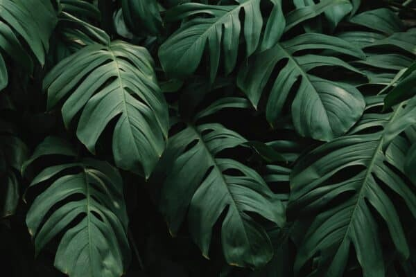 A Houseplant Icon: History of Monstera