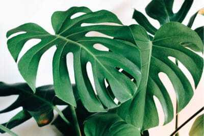 The Ultimate Guide to Monstera Varieties - Monstera Plant Resource