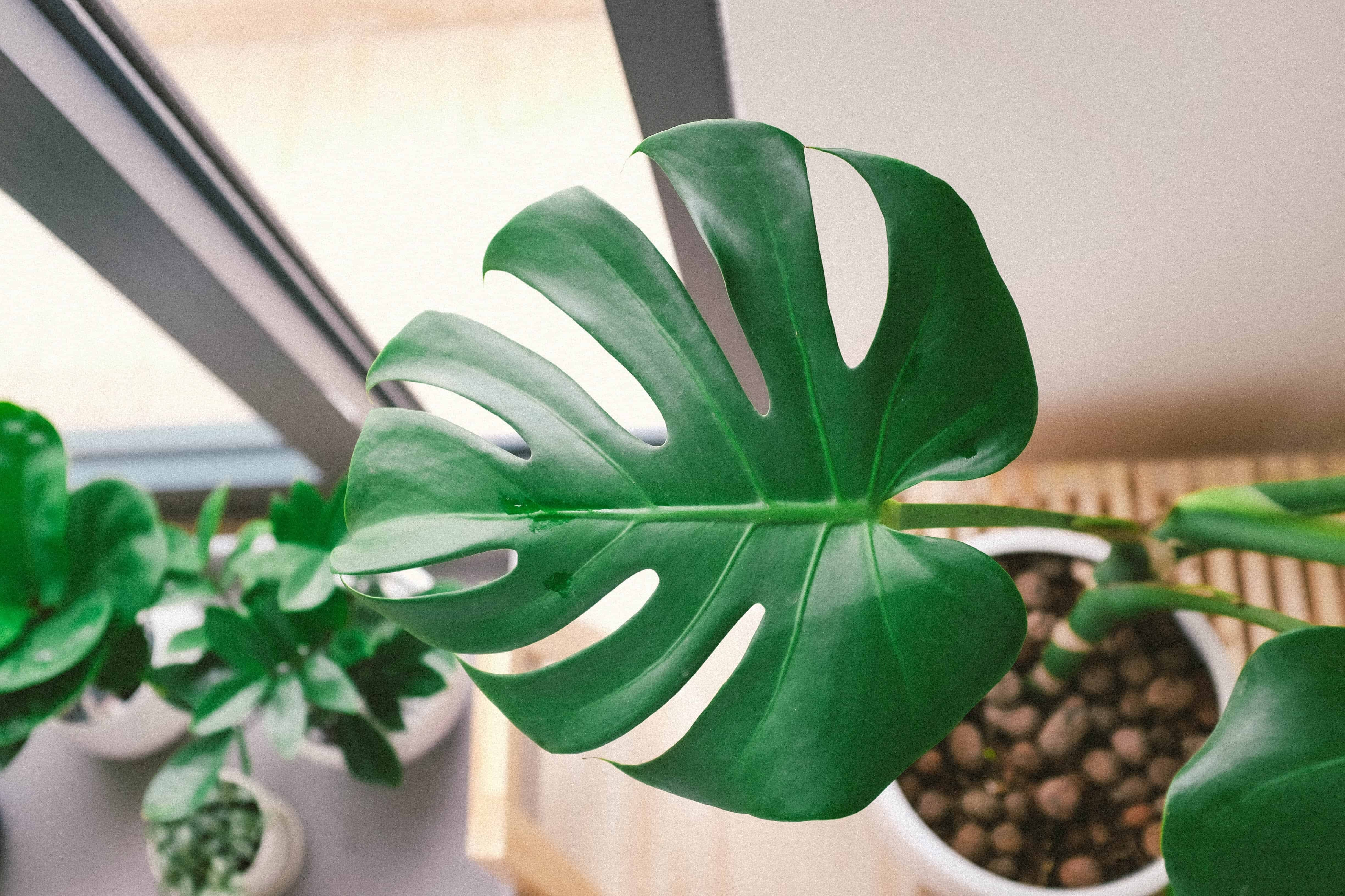 What to Do if Your Monstera Leaves Won't Split