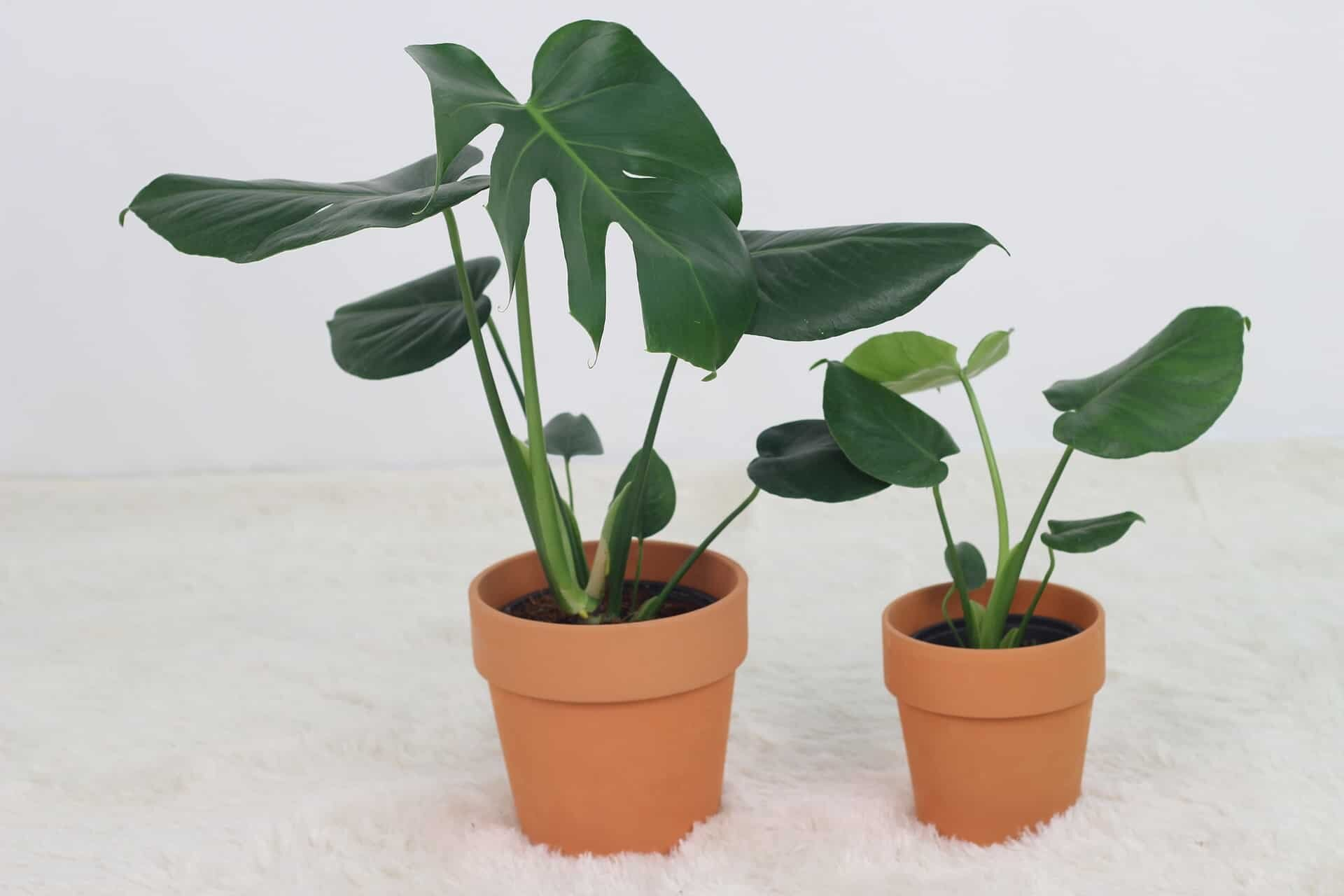 Your Monstera needs more light if it's growing slowly