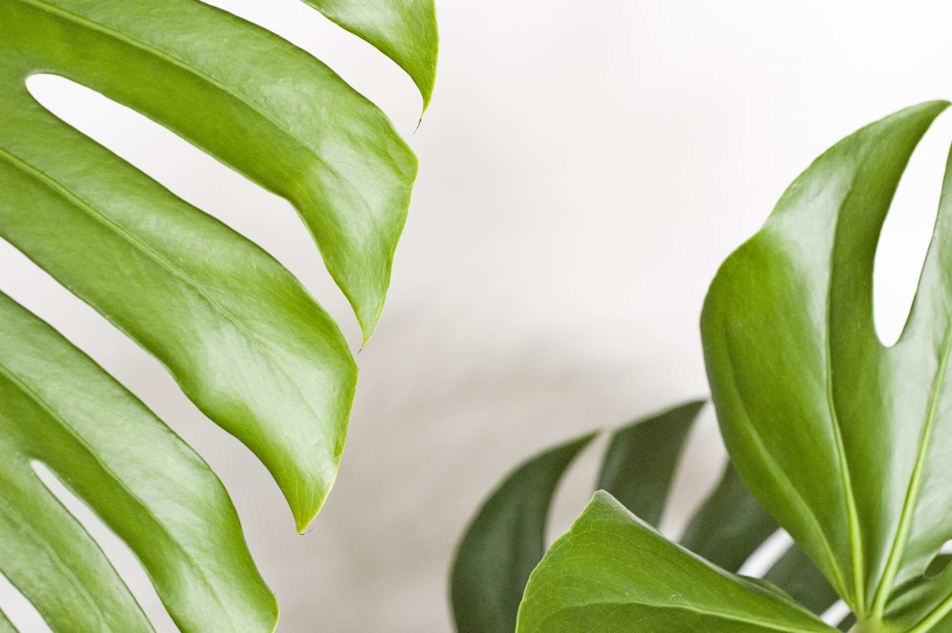 What's wrong with my monstera? - Monstera Resource Center