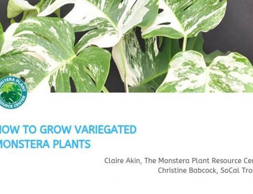 How to Grow and Propagate a Variegated Monstera (Webinar)