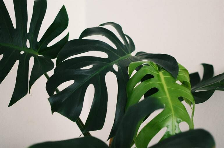 4 Signs Your Monstera Needs More Light - Monstera Plant Resource Center