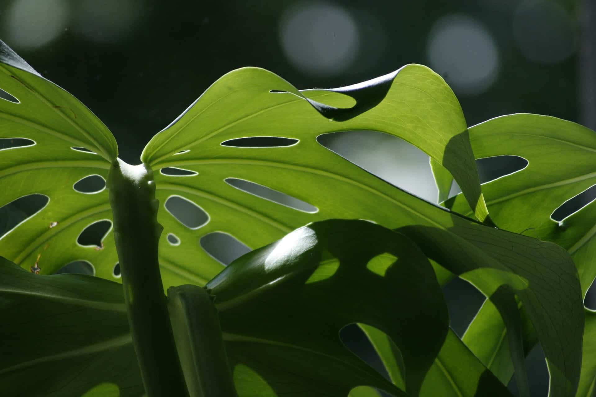 How to Separate a Monstera - Monstera Plant Resource Center