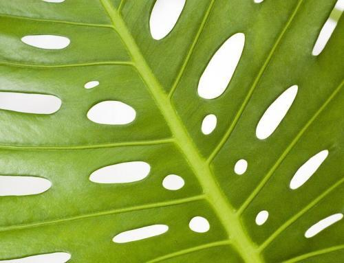4 Signs Your Monstera Is Over-Watered