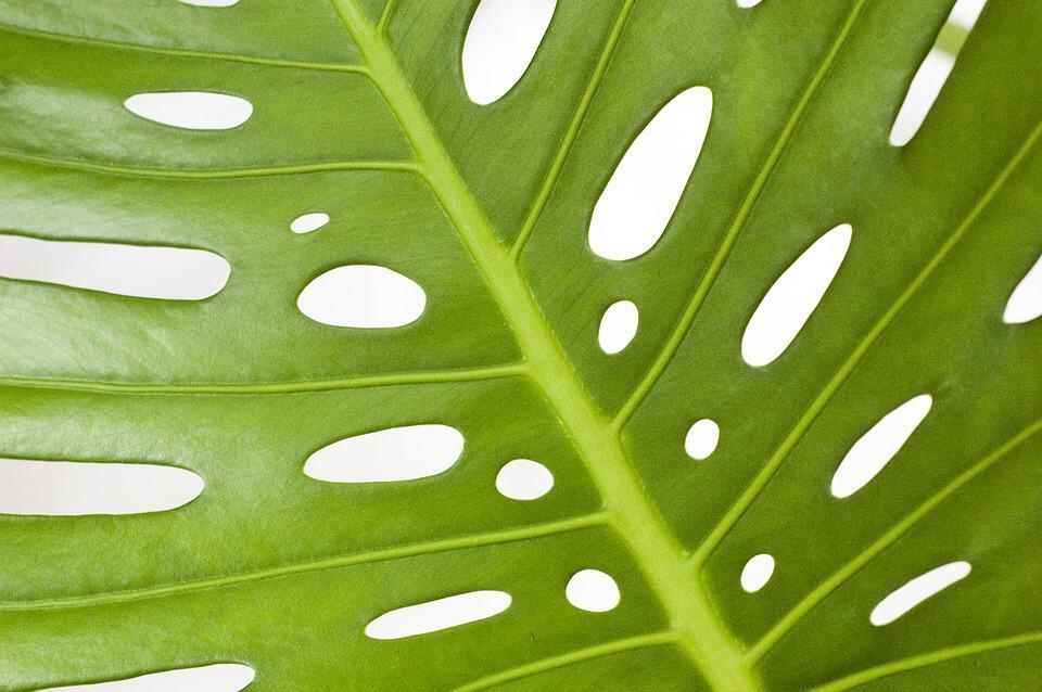 4 Signs Your Monstera is Overwatered