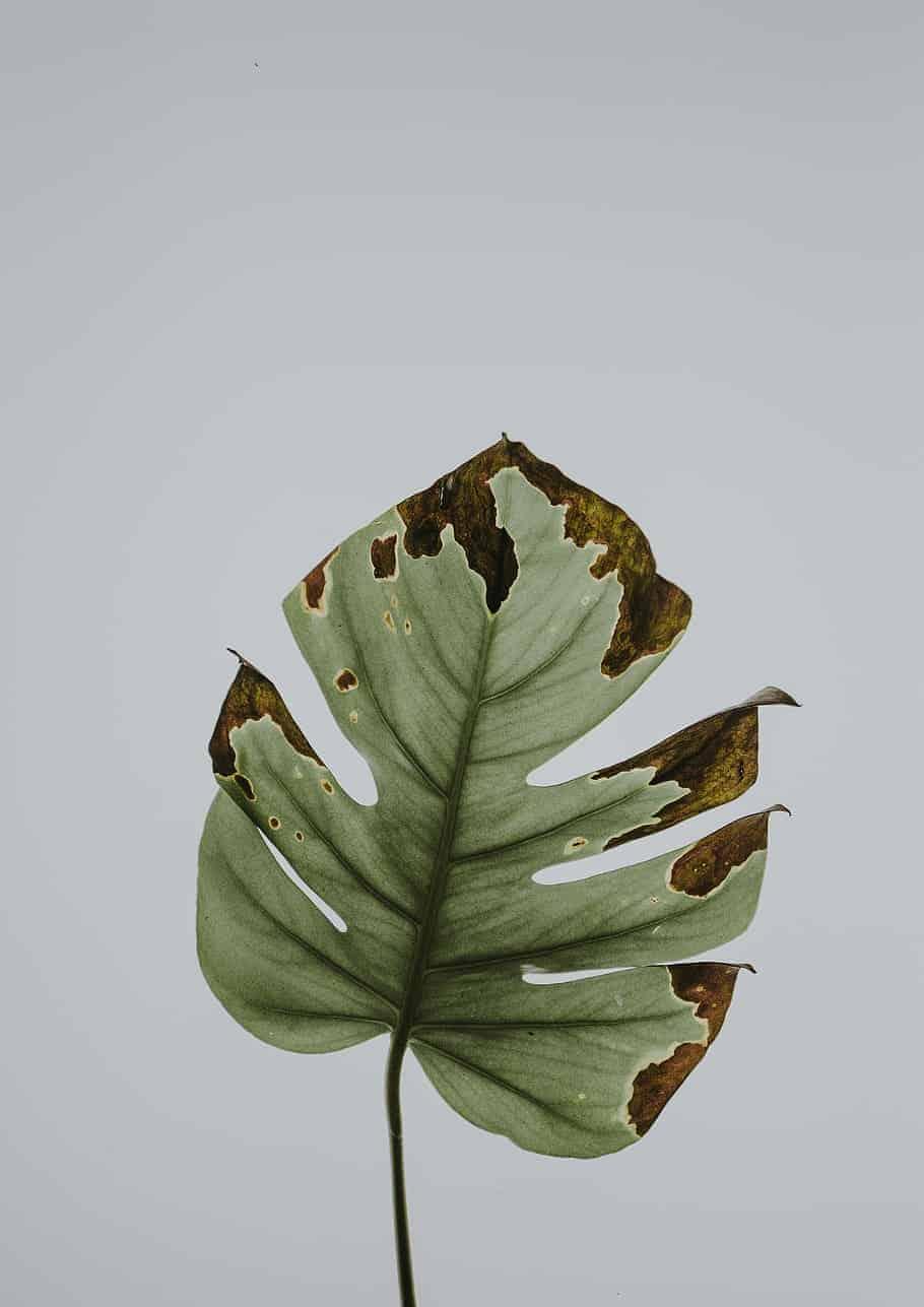 Leaf Plant Diseased Monstera
