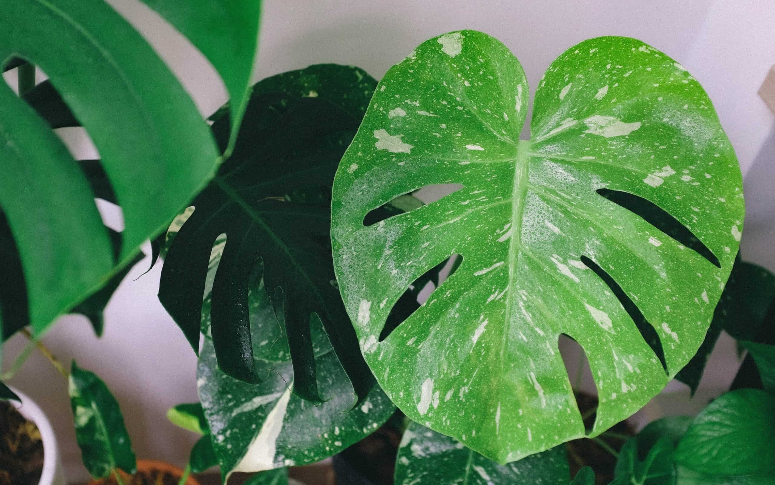 The Ultimate Guide To Monstera Leaf Care Monstera Plant Resource