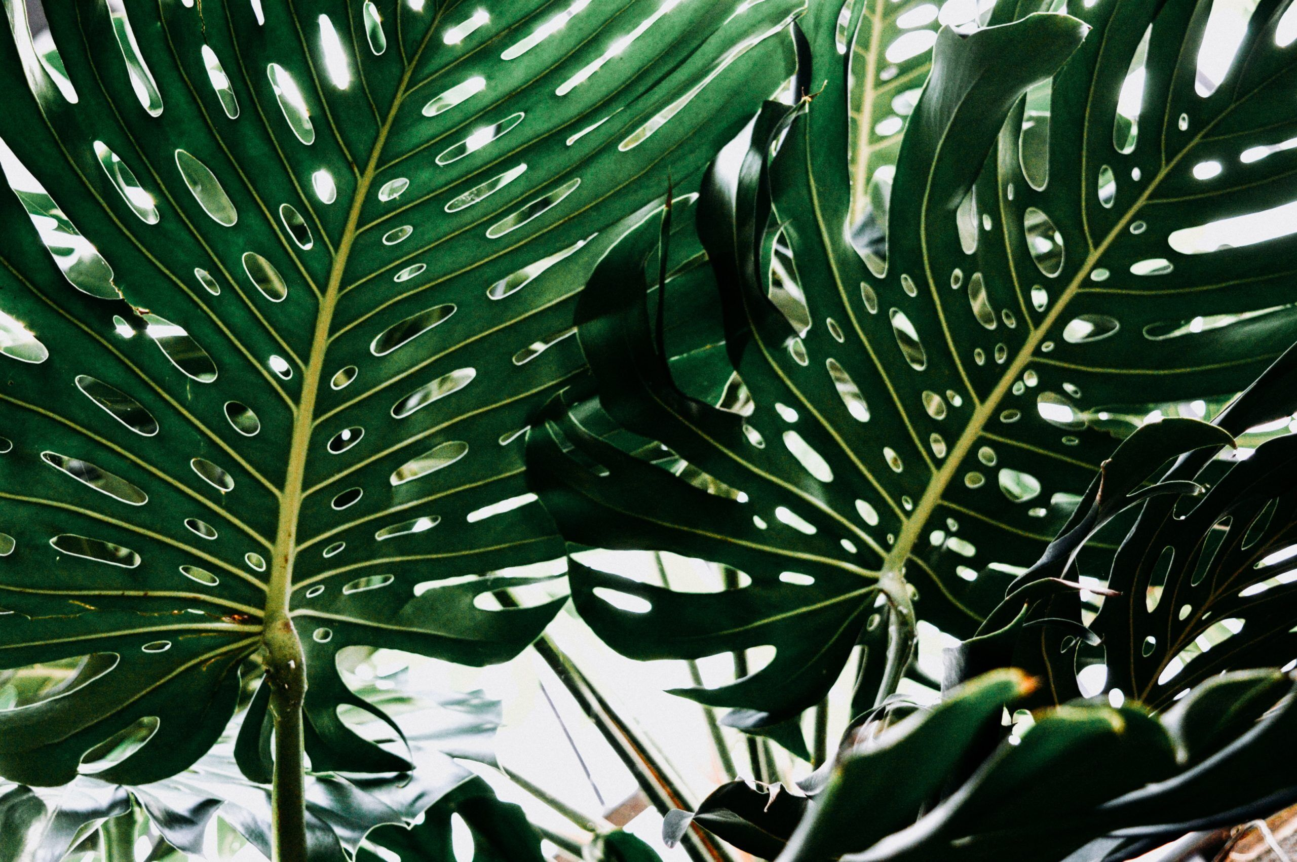 The Easy Way to Protect Your Monstera's Leaves - Monstera Resource Center
