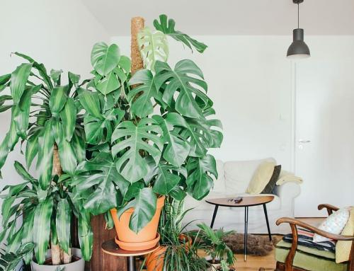 Using Indoor Plant Supports with Monstera Plants