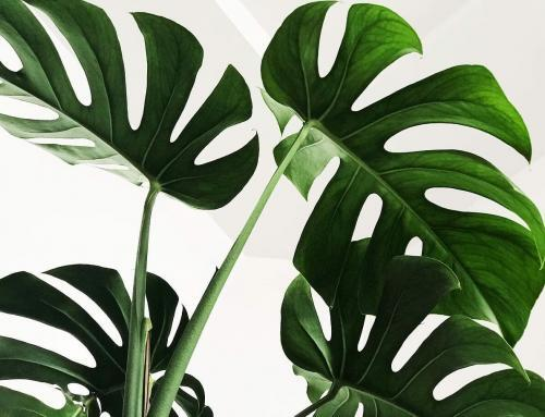 Should You Bottom Water a Monstera Plant?