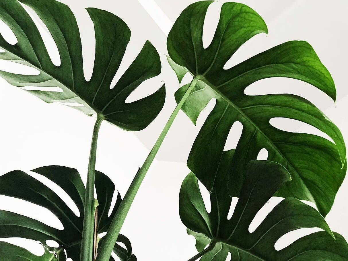 Should You Bottom Water A Monstera Plant Monstera Plant Resource