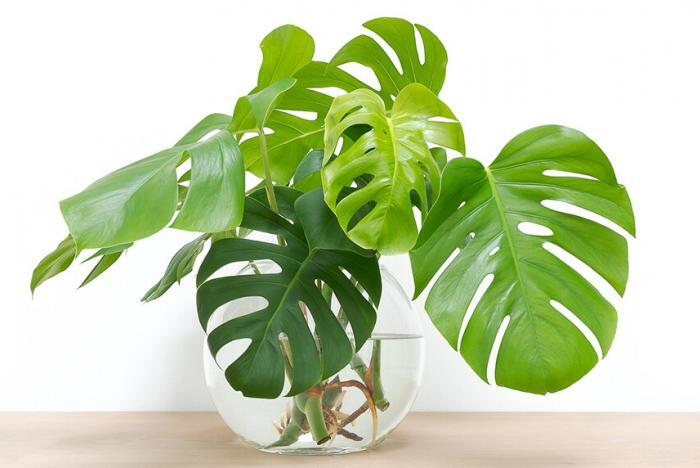 How to Grow Monstera Plants with Hydroponics
