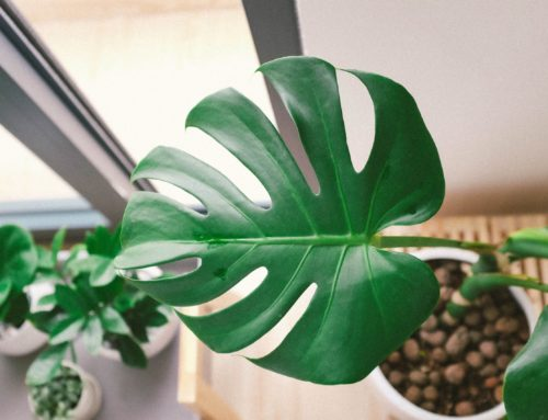 How to Grow Monstera Plants with LECA