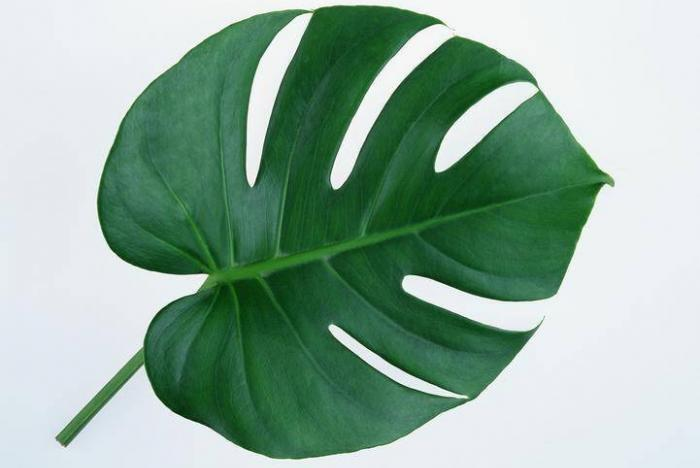 5 Signs Your Monstera is Underwatered