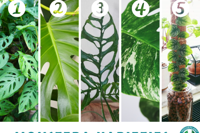 Monstera Identification & Fun Facts