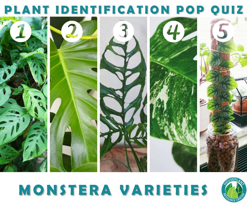 Monstera Identification & Fun Facts