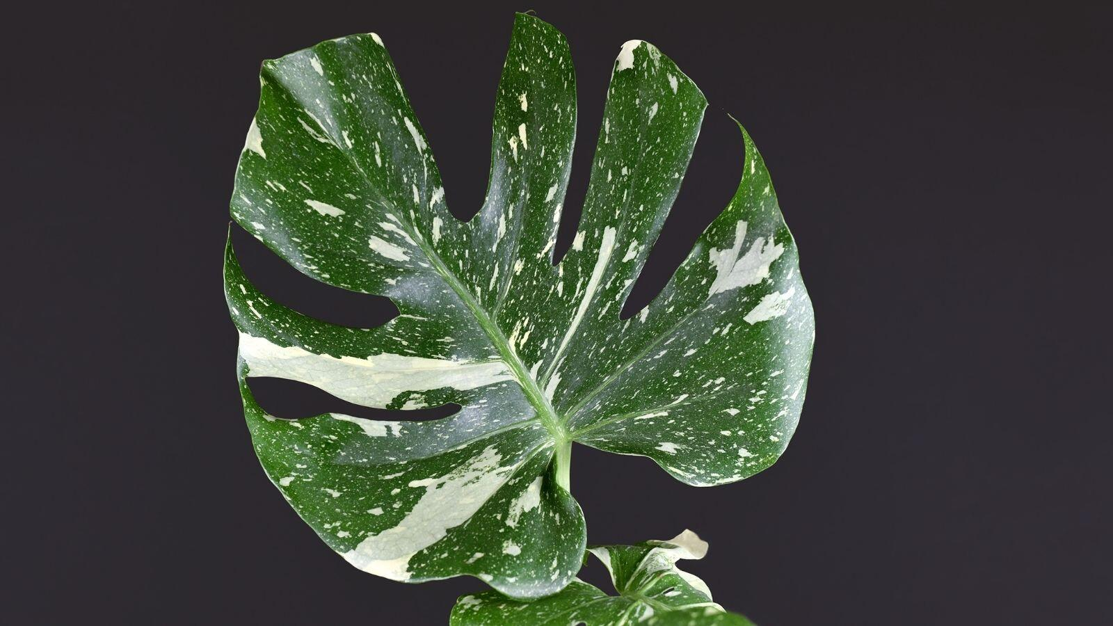 How to Buy and Care for a Thai Constellation Monstera